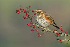DSC7357 Redwing.. (jefflack Wildlife&Nature) Tags: redwing redwings thrushes thrush birds avian animal wildlife wildbirds woodlands trees berries wintermigrant hawthorn countryside nature