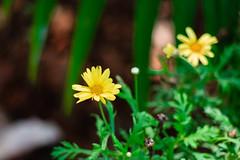 Flower (christopherprado) Tags: flower nature natureza bokeh canon flor florzinha parque park