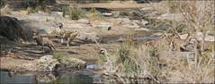 2016 10 16_The hunt-1.jpg (Jonnersace) Tags: lion hunt waterbuck knp krugernationalpark canon safari