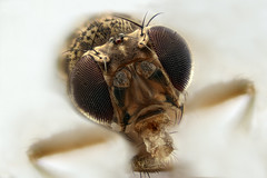 Drosophila Melanogaster (la mosca de la fruta) (Anddune) Tags: drosophila melanogaster mosca fruta topmacro macrodreams meg macro macrofotografia extrememacro ojos investigacions research