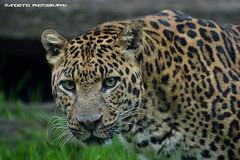 African leopard ' Zaki ' - Olmense Zoo (Mandenno photography) Tags: dierenpark dierentuin dieren animal animals belgie belgium bigcat big cat balen olmense olmensezoo olmen african leopard luipaard