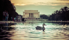 A Duck At The Lincoln Memorial (Stuck in Customs) Tags: dc stuckincustoms treyratcliff washingtondc stuck customs stuckincustomscom trey ratcliff travel blog travelblog hdr tutorial hdrtutorial imaging photography digital high dynamic range processing world north america united states usa eastcoast washington district columbia capital city virginia maryland lincoln memorial american national mall presidential neoclassical architecture design honor evening night dark lights lit exposure grass quiet glow outdoor building sony ilce7r september 2015 p2016