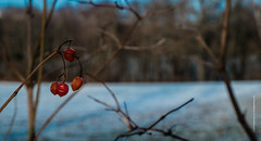red berries (imagomagia) Tags: art artphoto artphotography autumn berries cinematography forest fujix fujifilm light naturallight nature onthetree tree trees