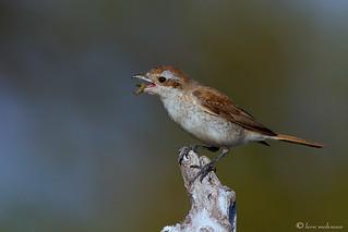 Female Red-backed  Shrike