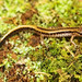 Three-lined Salamander