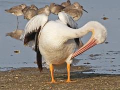 American White Pelican, Ding Darling (Florida), 16-Apr-13 (Dave Appleton) Tags: white bird birds florida pelican american sanibelisland dingdarling americanwhitepelican pelecanus pelecanuserythrorhynchos erythrorhynchos