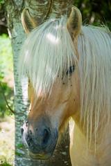 DSC_1040 (Ch.Neis) Tags: city horse france animal cheval town reflex nikon stadt 23 nikkor pferd ville creuse afs tier limousin dx digitalcameraclub pontarion 18105mm dlrs d5200 photographedandcopyrightbychristophneis