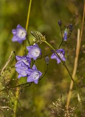 Zarte Versuchung (Seahorse-Cologne) Tags: blue flower fleur natur cologne kln lila blau blume campanula glockenblume campanule wiesenblume wahnerheide    klokkeslgten