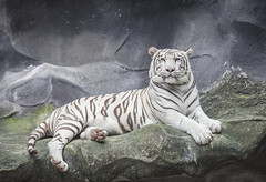 WHITE TIGER on a rock (anekphoto) Tags: park wild white nature ecology beautiful animal rock forest cat dark relax asian zoo big dangerous feline asia power fierce outdoor wildlife indian tiger watch stripe free conservation anger safari claw jungle killer albino tropical beast catch environment strong rest hunter aggression predator habitat biology snout hunt captivity carnivore
