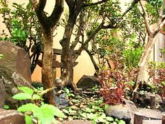 DSC04660 (Aido Bonsai - Paulo Netto) Tags: bonsai penjing aido
