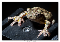 IMG-09-09-2013_0075- Framed (DoctorJ73) Tags: tree feet canon photography eos james jump peroni amphibian frog 7d danny webbed drj litoria perons