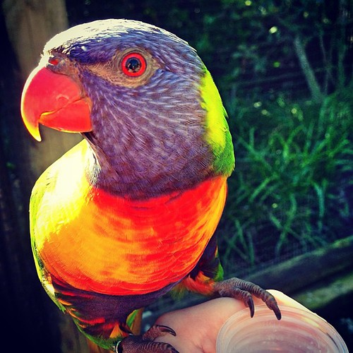 Ever been eyeballed by a Rainbow Lorikeet... ? #iphone5 #iphoneography