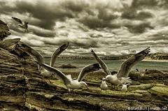 IMGP2636-Edit (Matt_Burt) Tags: ocean sea seagulls island indian gulls australia western rottnest