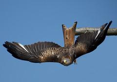 Diving Red Kite (pe_ha45) Tags: redkite milvusmilvus milanroyal milanoreal rotmilan milhafrereal gabelweihe nibbioreale