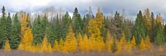 Algonquin Gold (markvcr) Tags: autumn trees orange ontario canada fall yellow forest gold algonquin larch tamarack