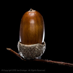 301/365 - Acorn (*ian*) Tags: brown black macro cup nature closeup blackbackground fruit cutout square shell seed acorn backlit nut favourite isolated day301 project365 cupule bigemrg oaknut acorncup gettypick 3652013