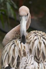 juvenille, again (ucumari photography) Tags: bird sc garden zoo october south flamingo columbia carolina riverbanks 6890 specanimal ucumariphotography