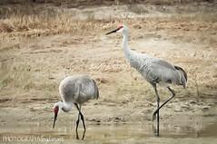 SANDHILL CRANES (PHOTOGRAPHY|bydamanti) Tags: birds unitedstates florida cranes jupiter waterbirds sandhillcrane filtered riverbendpark sandhillcranesofflorida