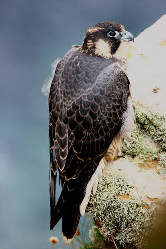 "Peregrine 3 • <a style=""font-size:0.8em;"" href=""https://www.flickr.com/photos/30837261@N07/10722512294/"" target=""_blank"">View on Flickr</a>"