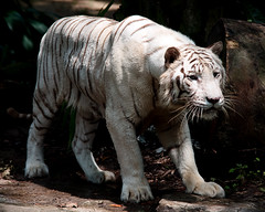White Tiger, now in colour (Ashley The Hoff) Tags: singapore sony tiger whitetiger singaporezoo a700 vision:outdoor=0854