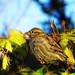 Sparrow-Hedge