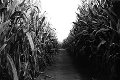 Corn (Graziella Ines) Tags: blackandwhite film monochrome 35mm corn 1600 analogue pushed neopan400 filmphotography canoneosxs