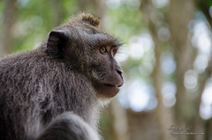 Reportaje Bali (Sergio Bjar) Tags: bali monkey mono rice ubud arroz tanalot klungkun