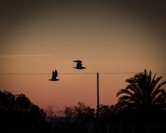 Two birds flying at sunset (p_v a l d i v i e s o) Tags: sunset bird portugal birds dusk salinas 300mm setbal alcochete crepsculo flok saltevaporationpond ef300mmf4 canoneos5dmarkiii 5d3 vision:sunset=0905 vision:sky=099 vision:outdoor=0905 vision:clouds=09