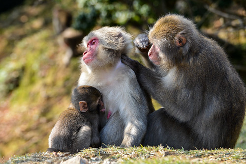 Saru Family at Iwatayama Monkey Park, Kyoto