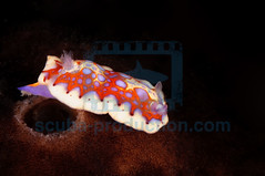 2010-05 HERBLAND MARTINIQUE HARLEQUIN BLUE DORIS CRHOMODORIS CLENCHI 3599