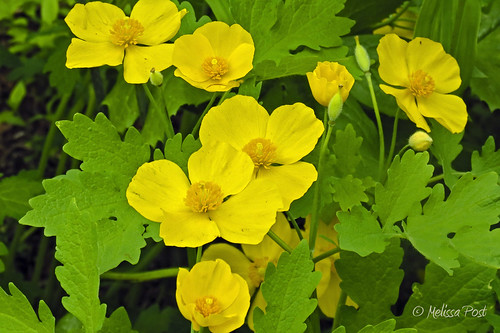 Qunita Flower - Celandine Poppies