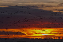 GOING HOME! (mark_rutley) Tags: sunset sky birds clouds geese portsmouth waterfowl gosport brentgeese