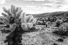 R0001844 (leoching) Tags: joshuatree ricohgr