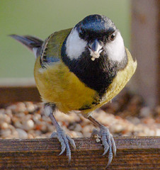 Great Tit (Jonathan Saull) Tags: tit britishwildlife britishgardenbirds commonbirds olympusomd