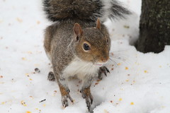Squirrel and Birds in the Snow (jeffcutler) Tags: snow birds squirrel birdseed wildlife bluejay nuthatch