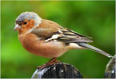 Chaffinch Portrait (eric robb niven) Tags: macro male scotland dundee wildlife wildbird glenlyon bridgeofbalgie chaffinches avianexcellence sunrays5 ericrobbniven