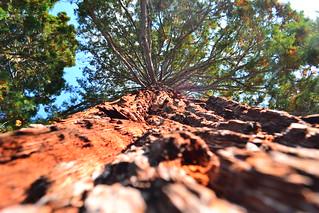 Séquoïa autour du lac d'Annecy