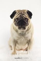 DSC_4658-k (phoenic) Tags: hund hunde mops welpe welpen mpse hundefotos hundefotografie