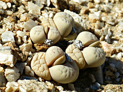 Lithops optica (Marloth) N.E. Br. (Linda DV) Tags: africa travel nature canon geotagged desert namibia swakopmund southernafrica namibdesert 2013 geomapped lindadevolder powershotsx40 welwitschiatour