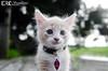 Kitten Photoshoot (Eric Andrew Photography) Tags: cats pets white cute animals cat eyes feline kitty kittens meow pur bestofcats impressedbeauty