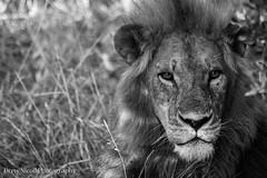 IMG_1468.jpg (DrewNicoll) Tags: lion drewnicoll africa kenya safari mara bigcat stare 2013 mygearandme