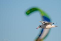 Flugverkehr (Micha Tuschy) Tags: kite wind wave surfing stein ostsee seagul mve surfen