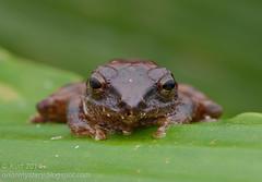 Philautus larutensis IMG_4922 stk copy (Kurt (OrionHerpAdventure.com)) Tags: philautuslarutensis frog frogs amphibian amphibia herp herps herpetology rhacophoridae rhacophorid petersbushfrog philautuspetersi