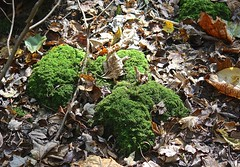 "Fern moss? • <a style=""font-size:0.8em;"" href=""http://www.flickr.com/photos/92887964@N02/12106241833/"" target=""_blank"">View on Flickr</a>"