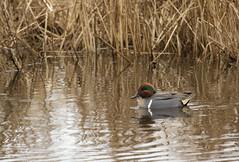 Green-Winged Teal (MiriamPoling) Tags: green duck teal wildlife north national carolina winged refuge 2014 mattamuskeet