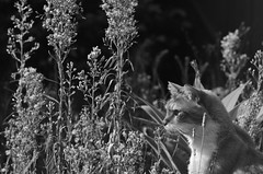 The Cat In A Patch (Of Weeds) (mrhethro) Tags: overgrown cat garden weeds gardenbed pentaxk5
