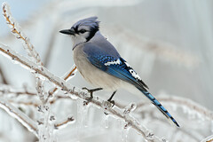 Blue Jay (snooker2009) Tags: blue winter snow bird fall ice nature animal outdoors jay wildlife small bluejay getty bluebird migration d800 thewonderfulworldofbirds dailynaturetnc13