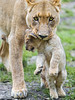 Lioness transporting her cub III (Tambako the Jaguar) Tags: winter wild baby cute cat mouth zoo cub switzerland big nikon serious small lion young basel protective attentive carrying lifting zolli transporting d4