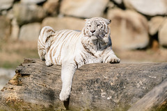 White Tiger Stretching on a Log (Eric Kilby) Tags: white zoo log tiger bigcat stretching southwicks