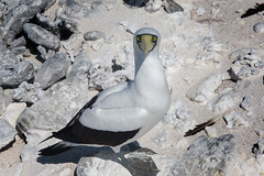 Masked Booby with a Piercing Stare (- drsteve -) Tags: france macro bird coral closeup island eyes sand desert stare masked guano booby gannet clipperton